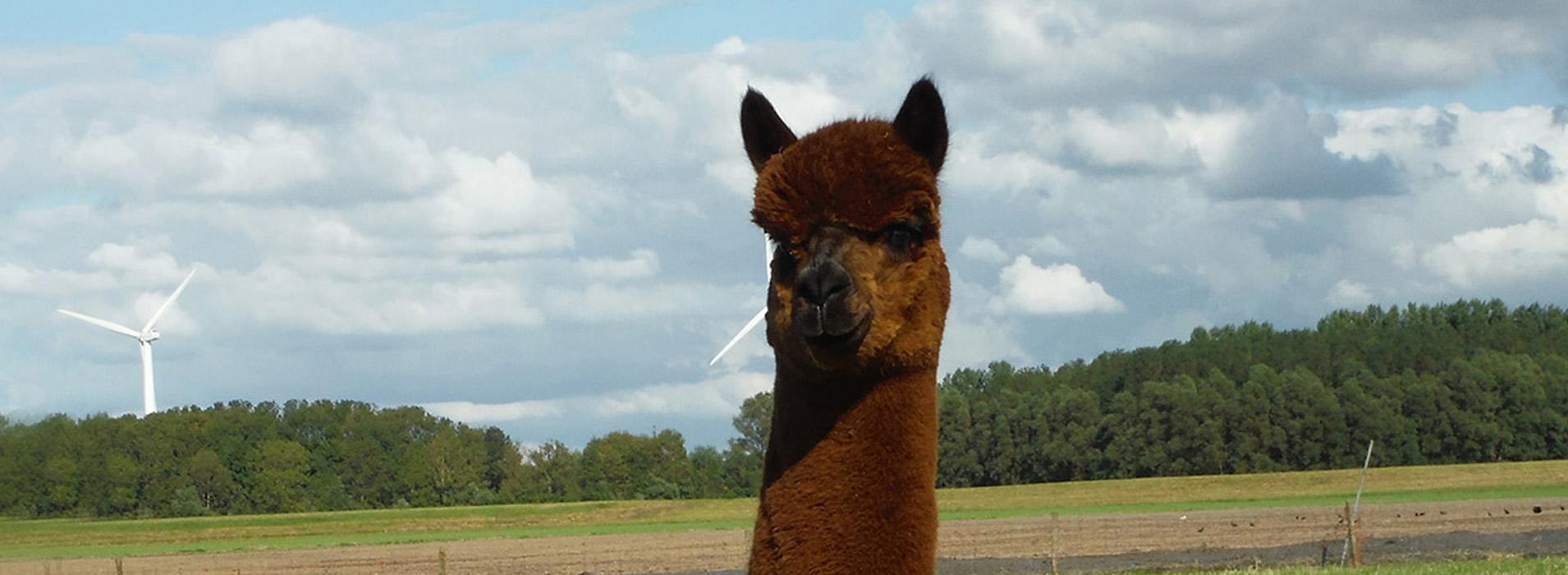 Alpaca fokkerij en alpacawandelingen bij Alpaca-World-Brielle