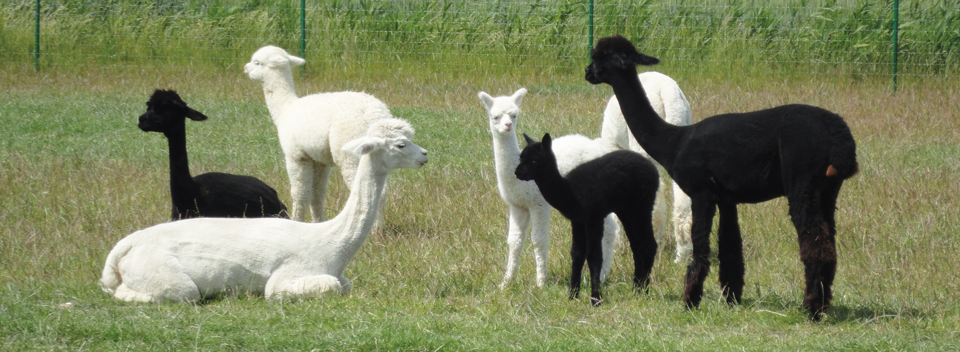 Alpaca-World-Brielle